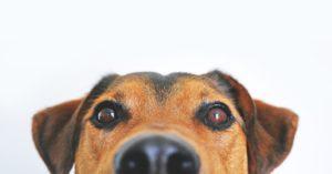 כלב ראשית